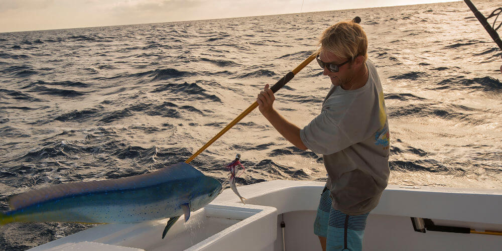 Our mate on Longer Days gaffing a beautiful bluish mahi mahi and flipping it into our charter boat's cooler.